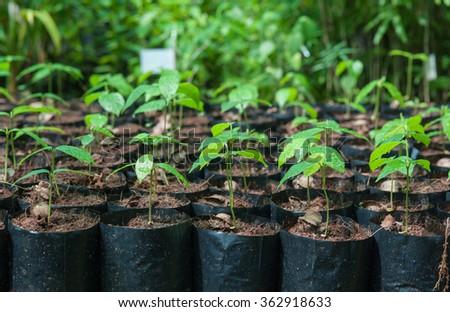 Sapling seedling nursery strains.  - stock photo