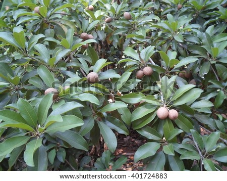 Sapodilla is yielding a lot. On the leaves are dark green surrounds. - stock photo