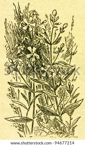 """Saponaria, also known as soapworts - an illustration from the book """"In the wake of Robinson Crusoe"""", Moscow, USSR, 1946. Artist Petr Pastukhov - stock photo"""