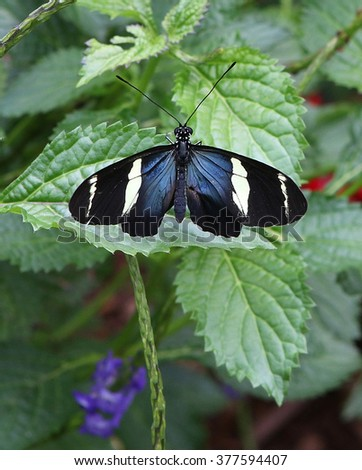 Sara Longwing Butterfly with Wings Spread on Green Leaf - stock photo