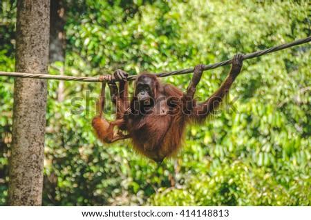 SARAWAK, MALAYSIA - JULY 9, 2011: The Sepilok Orangutan rehabilitation centre near Sandakan in Borneo - stock photo