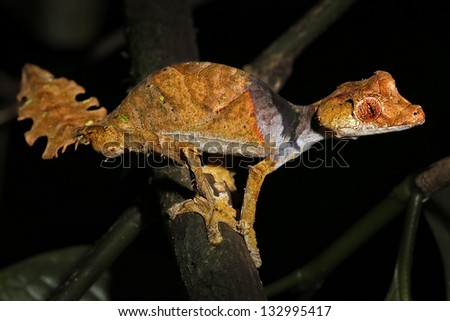 Satanic Leaf-tailed Gecko (Uroplatus phantasticus) in Ranomafana rain forest in eastern Madagascar. Red eyes and horns above eyes earn this supremely camouflaged lizard its devilish name. - stock photo