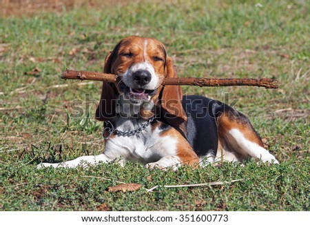 Satisfied puppy of breed of beagle lay on a green lawn  - stock photo