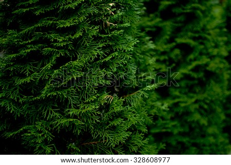 Saturated green branches of thuja tree - stock photo