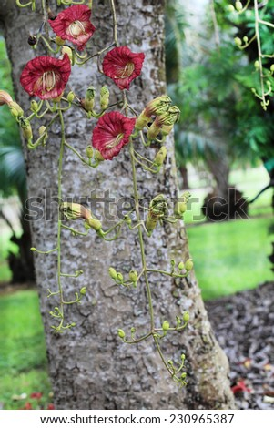 Sausage Tree with Kigelia Africana Flowers in the Fruit and Spice Park - stock photo