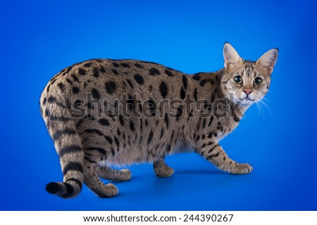 savannah cat on a blue background isolated - stock photo