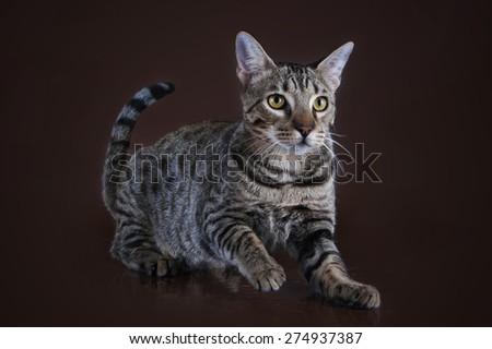 Savannah kitten on a brown background isolated - stock photo