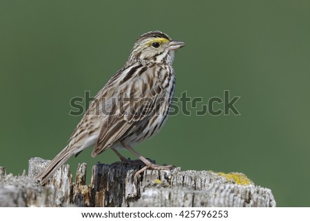 Savannah Sparrow (Passerculus sandwichensis) perched on a fence post - Ontario, Canada - stock photo