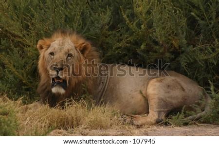 sawgrass lion 4,04 - stock photo