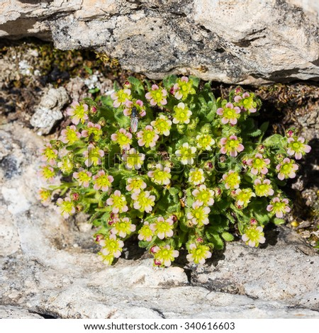 Saxifraga facchinii (Koch).  Sassifraga di Facchini. The Dolomites, The Pale di San Martino massif. Italy - stock photo