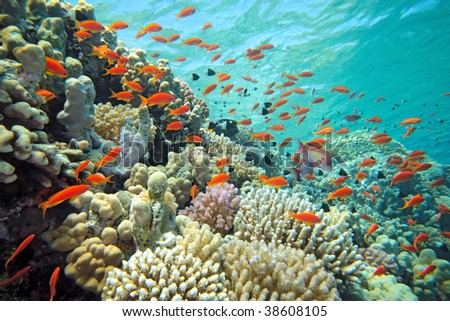 scalefin anthias fish on the reef - stock photo