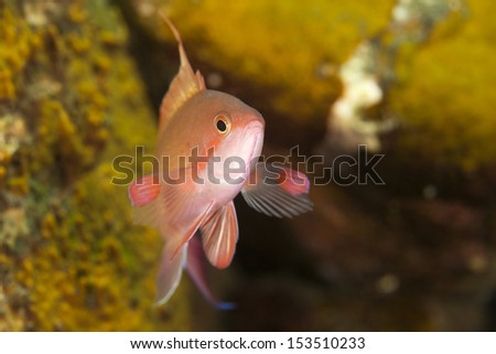 Scalefin Anthias (Pseudanthias squamipinnis), male on a tropical coral reef in Bali, Indonesia. - stock photo