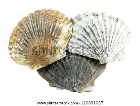 Scallop Shells - stock photo
