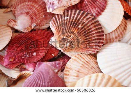 Scallop shells useful as a background pattern - stock photo