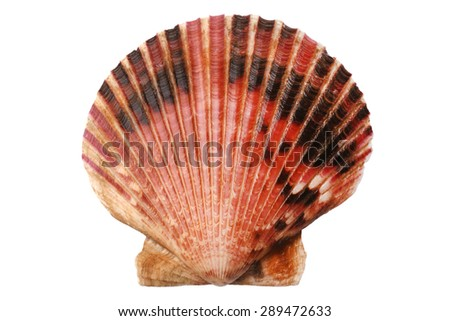 Scallops shell isolated on white background - stock photo