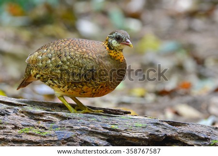 Scaly-breasted Partridge (Arborophila chloropus) standing on a log - stock photo