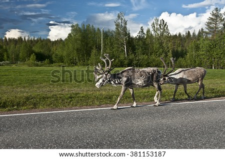 Scandinavian Reindeer / The Finnish forest reindeer is found in the wild in only two areas of the Scandinavian peninsula of Northern Europe. - stock photo
