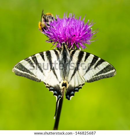 Scarce Swallowtail Butterfly - Iphiclides podalirius and bee on the flower - stock photo