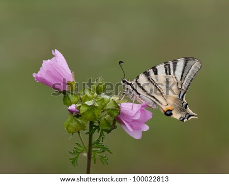 Scarce Swallowtail Butterfly - Iphiclides podalirius on a pink flower - stock photo