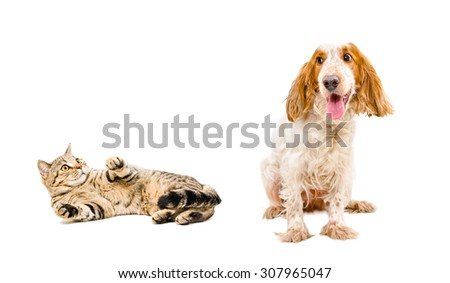 Scared cat Scottish Straight and dog breed Russian Spaniel isolated on a white background - stock photo