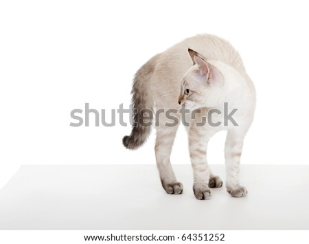 Scared kitten. On the eastern calendar 2011 - the year the cat. - stock photo