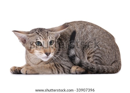 Scared Oriental Cat on white background - stock photo