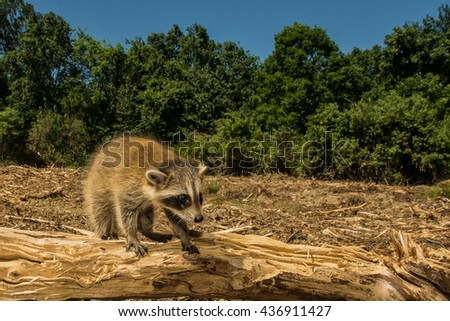 Scared raccoon searching for home after forest was cleared. - stock photo