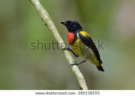 Scarlet-breasted flowerpecker, the most beautiful Flowerpecker in Malaysia - stock photo