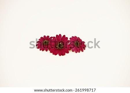 scarlet daisies - stock photo