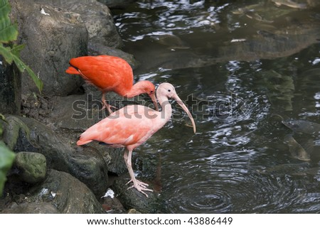 Scarlet Ibis by some water.  This bird is native to tropical South America and is the national bird of Trinidad and Tobago. - stock photo