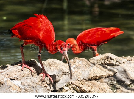 Scarlet ibis (Eudocimus ruber) is a species of ibis in the bird family Threskiornithidae. Beauty in nature. - stock photo