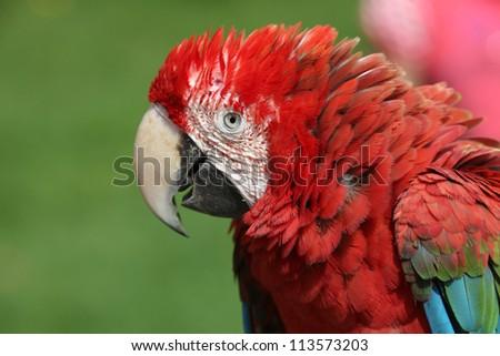 scarlet macaw - stock photo