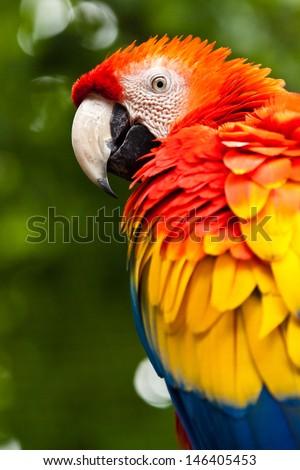 Scarlet Macaw (Ara macao)  - stock photo