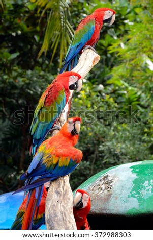 Scarlet macaw (Ara macao) is a large, red, yellow and blue South American parrot. - stock photo