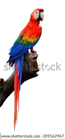 Scarlet Macaw bird in full body isolated on white background - stock photo