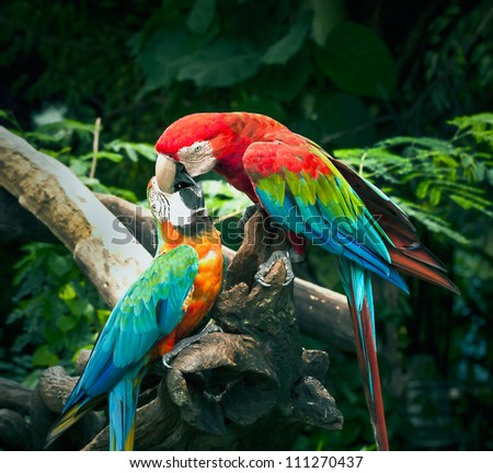 scarlet macaw kisses on blue and yellow macaw in nature - stock photo