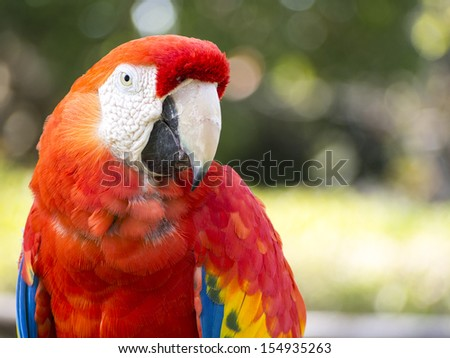 Scarlet Macaw parrot photographed upclose - stock photo