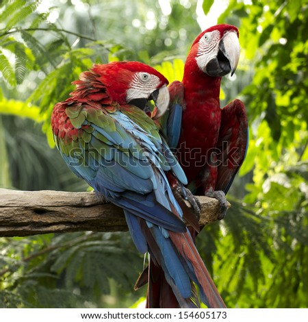 scarlet macaws on the tree  - stock photo