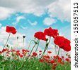 scarlet poppies on a background of the cloudy sky - stock photo