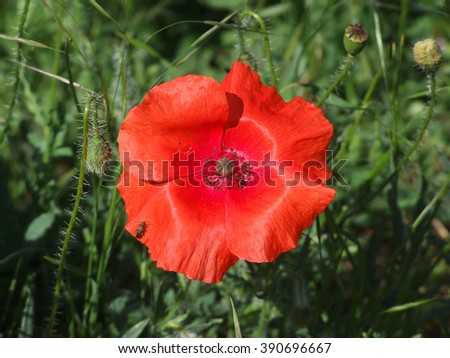 Scarlet poppy with the gentle petals among green herbs. Vivid red poppy in sunlight - stock photo