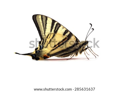 Scarse swallowtail ( Iphiclides podalirius) isolated on white background - stock photo