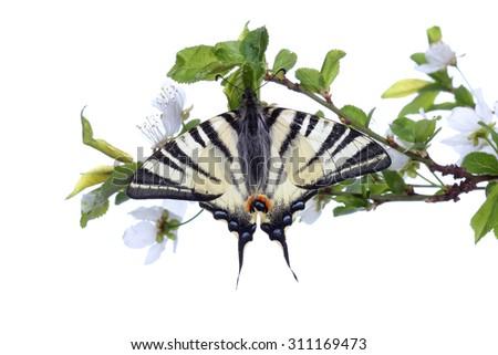 Scarse swallowtail ( Iphiclides podalirius) sitting on cherries branch on white background - stock photo