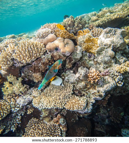 Scarus fish and chaetodon hiding. Underwater landscape. Red sea coral reef. - stock photo