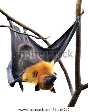 Scary Hanging Flying Fox or Big bat isolated on white background - stock photo