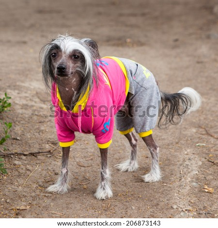 scary little dog in a suit - stock photo