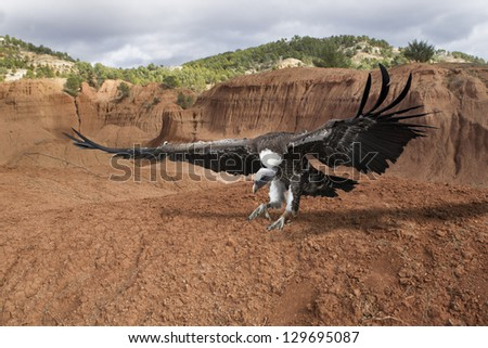 scavenger vulture flying with outstretched wings - stock photo