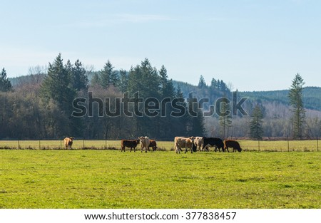 scene of beef cattle in the green field in farm area,usa. - stock photo