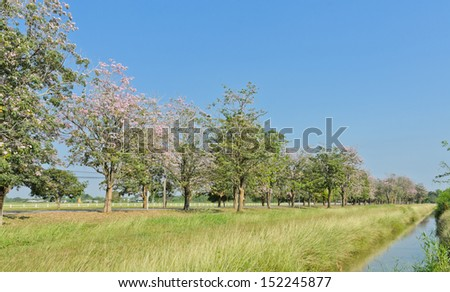 Scenery green field with pink trumpet blossom - stock photo
