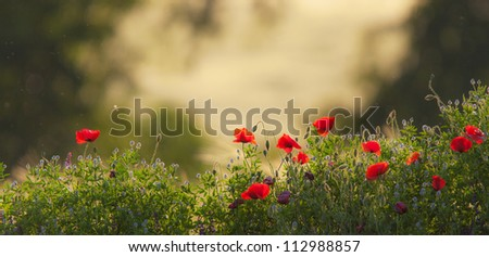 Scenery with wild poppy and flowers in a field of barley - stock photo
