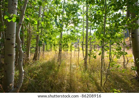 Scenic, forest scene of a stand of aspens at the edge of a meadow with early evening sunlight filtering through the trees and creating dramatic long shadows - stock photo